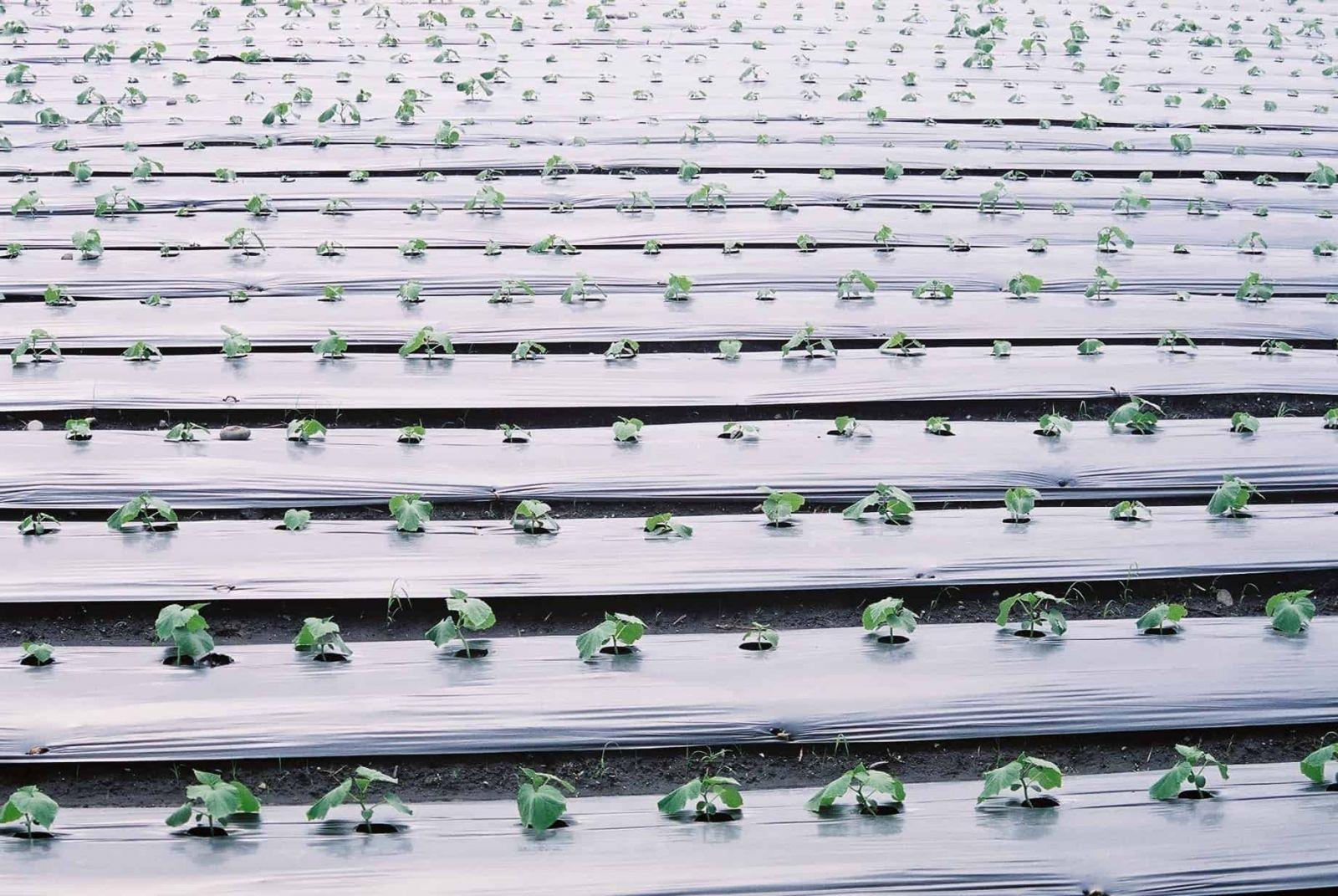 lớp màng PE giúp giữ độ ẩm và chất dinh dưỡng trong đất